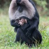 Fota Wildlife Park announces the arrival of the first Lion-tailed macaque baby in over four years